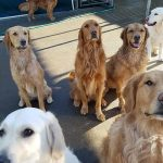 Parade of the Goldens!