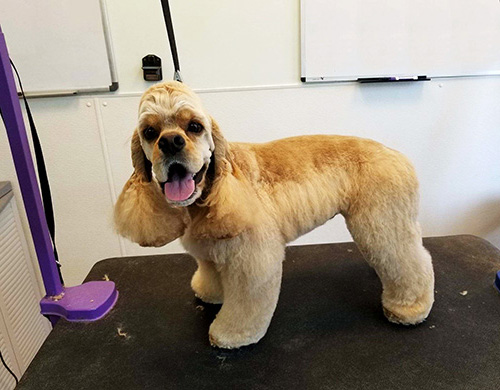 Cocker Spaniel getting a hair cut!